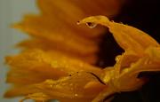 19th Jul 2019 - Sunflower Drops
