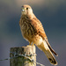 kestrel on Croft Hill by shepherdmanswife