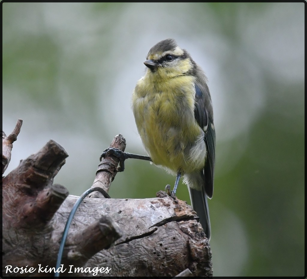Young blue tit by rosiekind