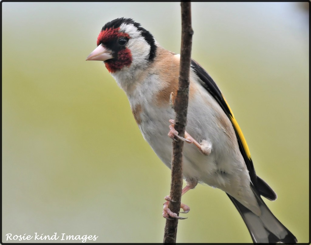 Beautiful goldfinch by rosiekind