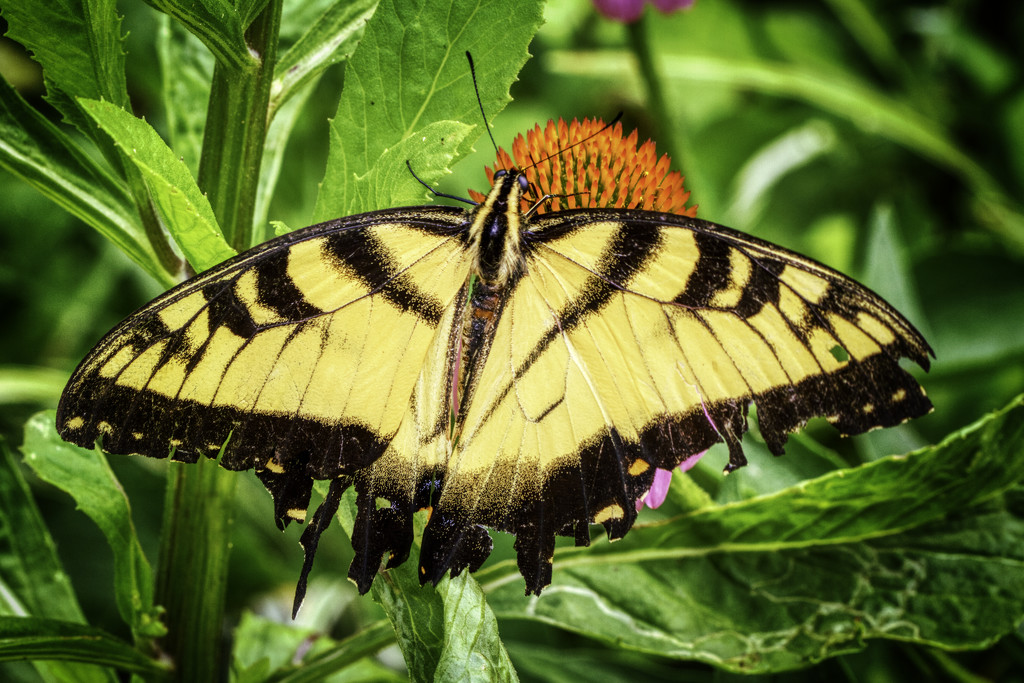 Tiger Swallowtail Butterfly by kvphoto