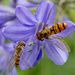 Hoverfly on Agapanthus by judithdeacon
