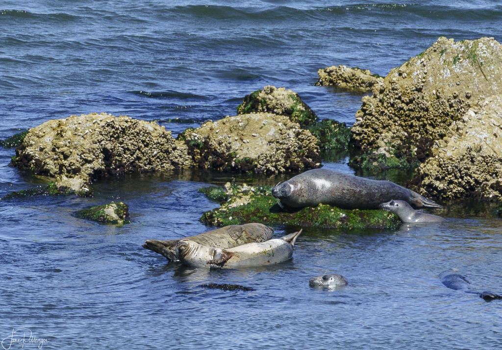 Harbor Seals Hanging Out On A Summer Day by jgpittenger