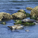 Harbor Seals Hanging Out On A Summer Day