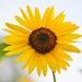 Hello Sunflower!