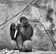 20th Jul 2019 - Silverback Gorilla