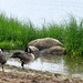 A quartet of geese.