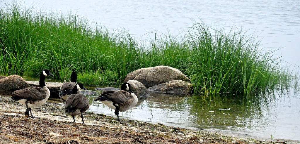 A quartet of geese. by sailingmusic