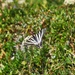 Swallow tailed Butterfly