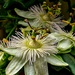 Passion Flowers by tonygig