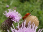 19th Jul 2019 - Red Soldier Beetle