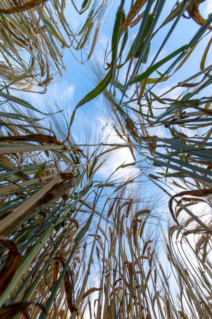 Down among the Barley by shepherdmanswife