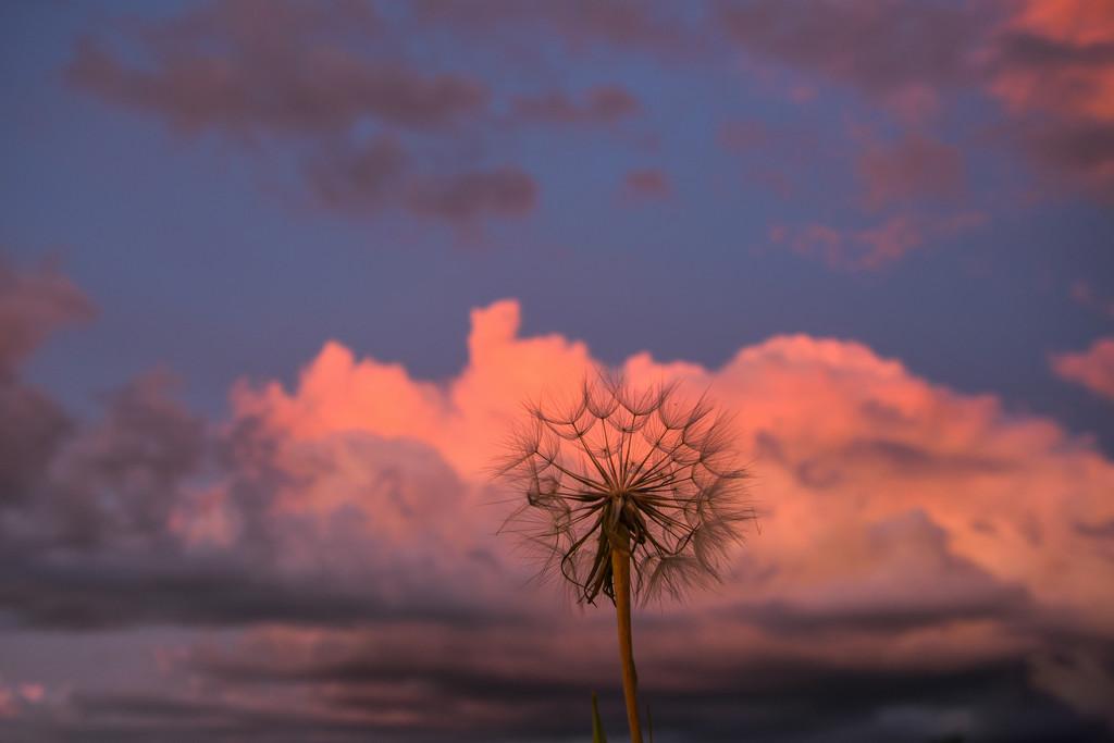 Goatsbeard and Clouds by kareenking