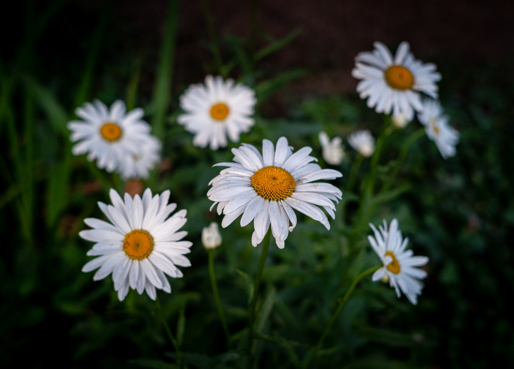 Michaelmas Daisies at Dusk by vignouse
