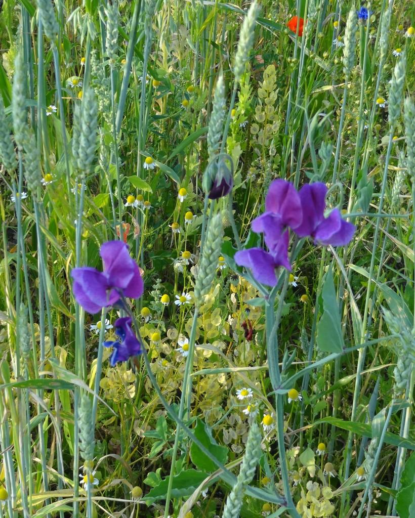 more wild flowers by gijsje