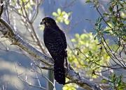 18th Jul 2019 - NZ Falcon