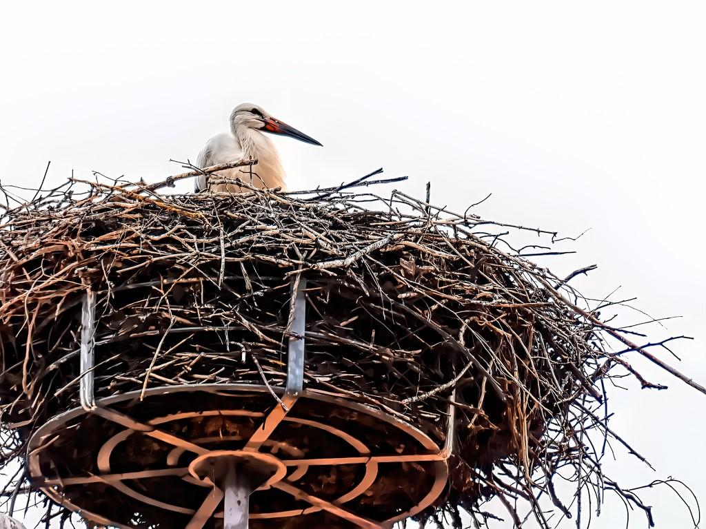A Stork in it's nest by ludwigsdiana