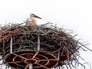 21st Jul 2019 - A Stork in it's nest