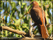 19th Jul 2019 - Brown Cuckoo Dove
