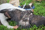 21st Jul 2019 - Ringing the Eagle's leg