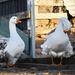 Sebastopol Geese by kgolab