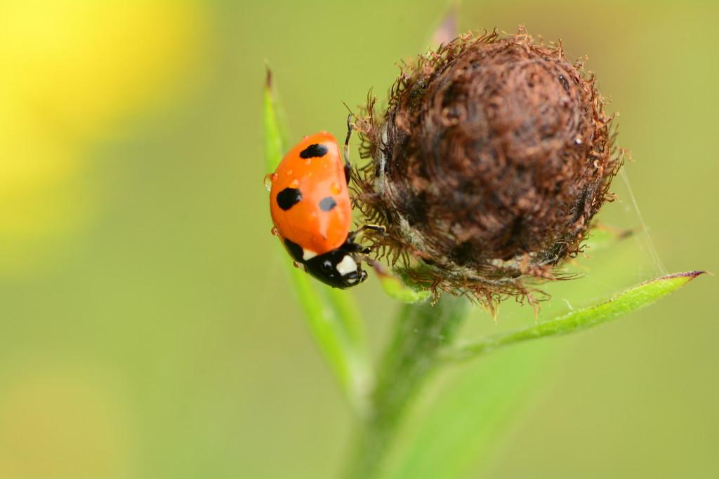 Ladybird after the rain....... by ziggy77