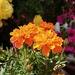 Marigold by peadar