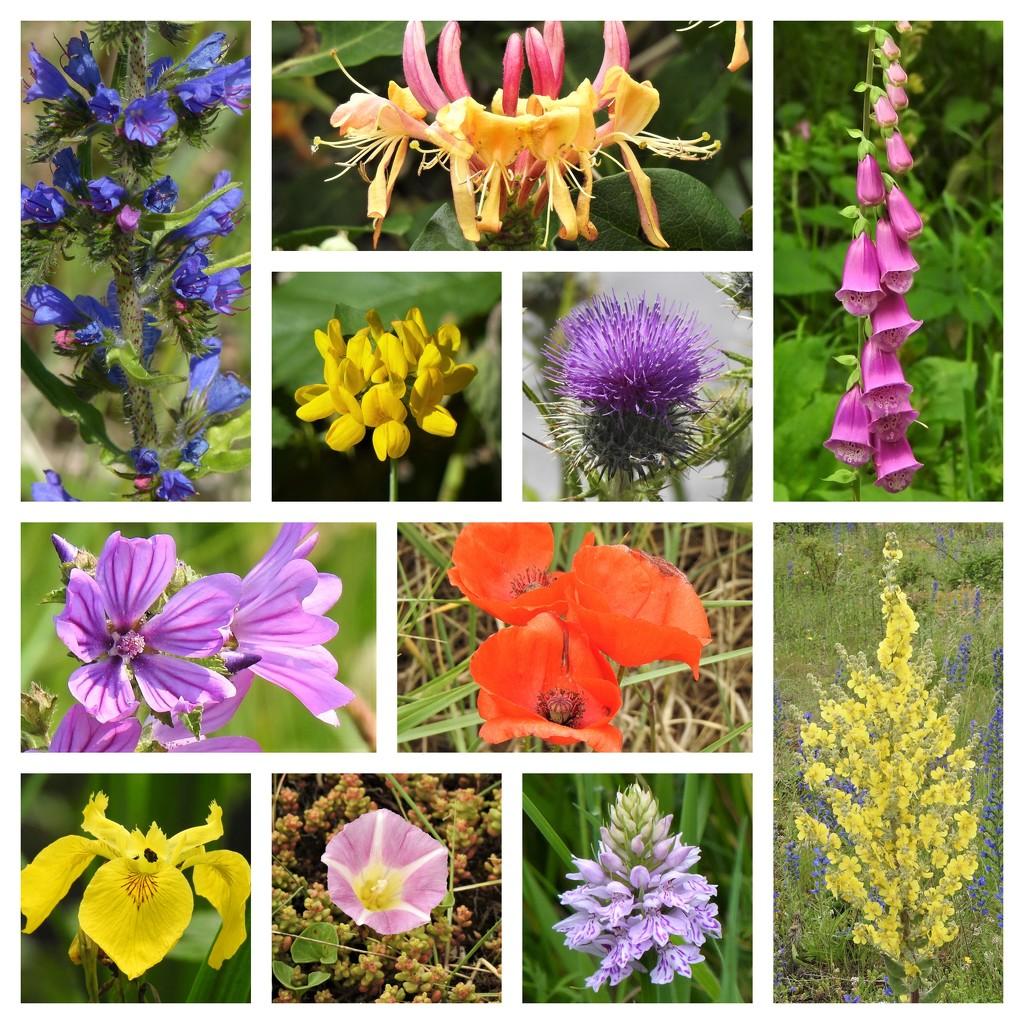 Norfolk Wild Flowers 1 by susiemc