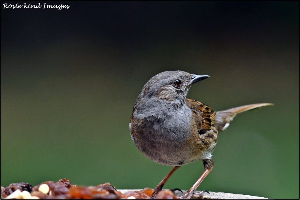 Little dunnock for afternoon tea by rosiekind