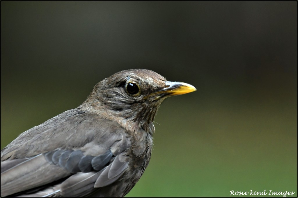 Mrs Blackbird by rosiekind