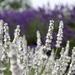 Lavender' White
