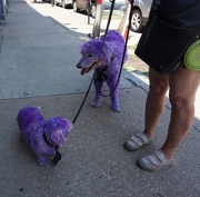 22nd Jul 2019 - I've Never Seen a Purple Cow, But Purple Dogs...