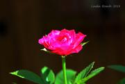 21st Jul 2019 - Miniature Rose