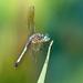draggonfly