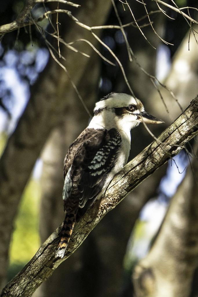 Kookaburra  by sugarmuser