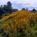 Hillside sunflowers by joansmor