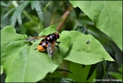 22nd Jul 2019 - Some kind of fly or bee