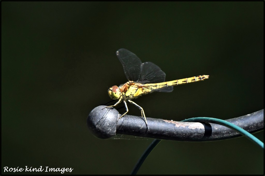Some kind of dragonfly by rosiekind