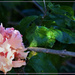 A Very Pretty Hibiscus ~
