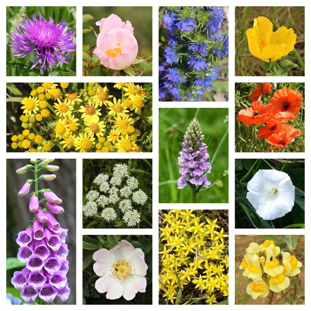 Norfolk Wild Flowers 2 by susiemc