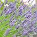 Lavender hedge 2