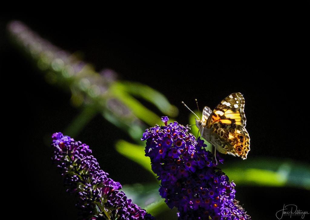 Butterfly Enjoying the Butterfly Bush by jgpittenger