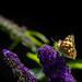 Butterfly Enjoying the Butterfly Bush