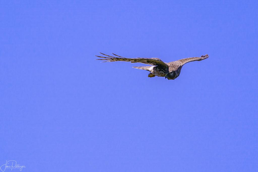 Northern Harrier by jgpittenger