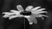 22nd Jul 2019 - the daisy of despair