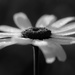 the daisy of despair by northy