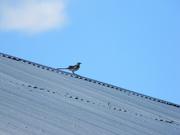 22nd Jul 2019 - Bird on Roof