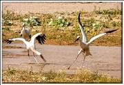 23rd Jul 2019 - Storks having fun