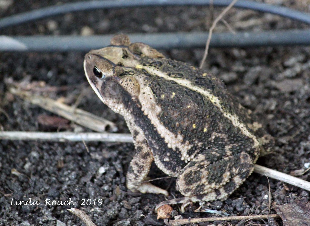 Toad by grannysue
