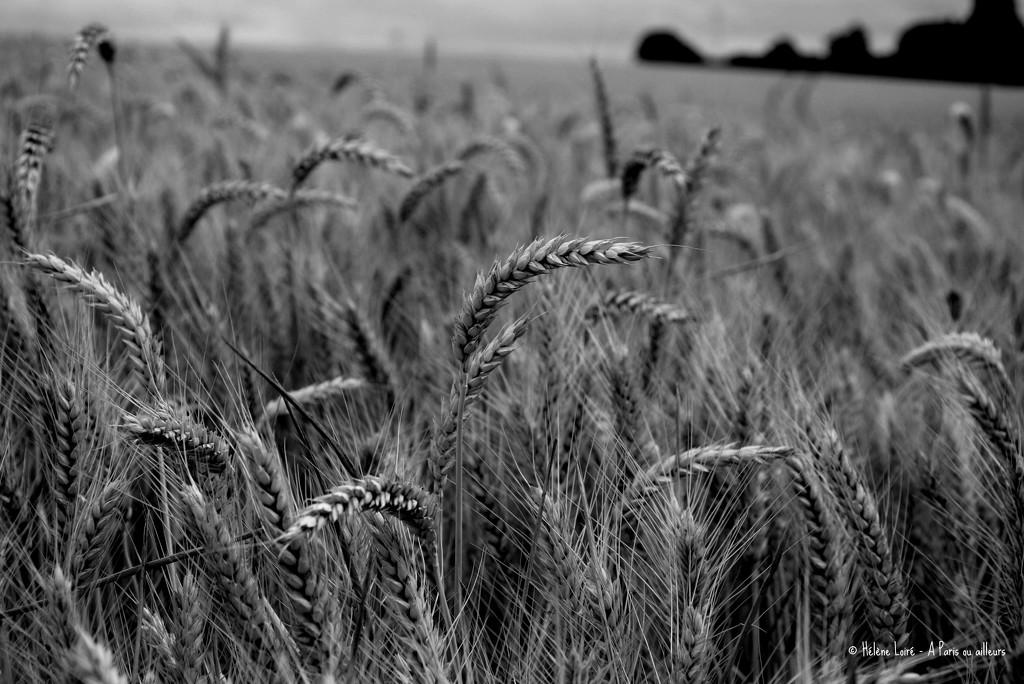 wheat by parisouailleurs